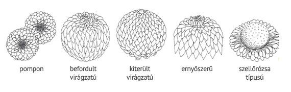 Krizantém virágzatának fajtái