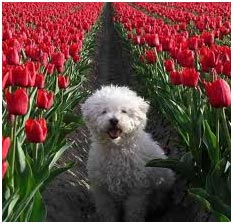 tulipánok ültetése